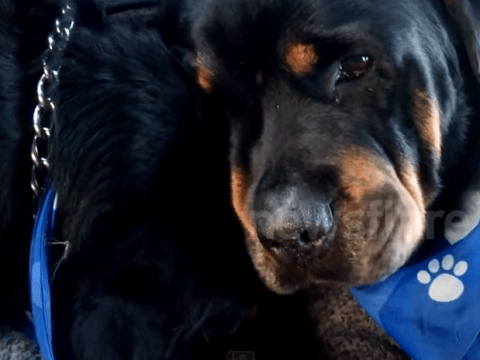 Heartbreaking video shows Rottweiler crying for his dead brother