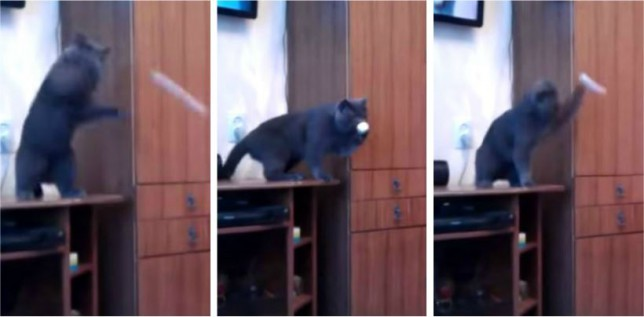 Video: This Russian kitty sure plays a mean swingball