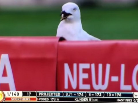 Lucky seagull cheats death after being struck by a cricket ball in Australia's Big Bash