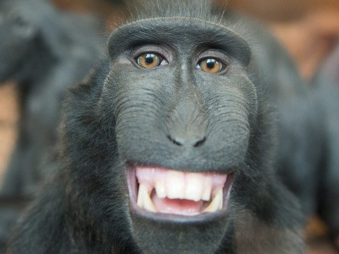 This macaque monkey certainly knows how to pose for the camera