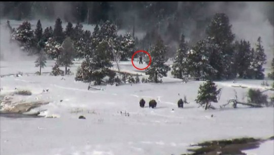 Bigfoot spotted in Yellowstone National Park? Webcam footage captures what could be the elusive ape-like creature - and there are FOUR of them