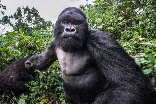 **PLEASE NOTE MANDATORY BYLINE** PIC BY CHRISTOPHE COURTEAU/ CATERS NEWS - (PICTURED THE GORILLA CHARGING ) - These incredible pictures show the moment a lairy gorilla PUNCHED a photographer in a drunken rage. Unlucky wildlife photographer Christophe Courteau, 46, was taking snaps of a group of silverback gorillas in the forest of the Volcanoes National Park, in Rwanda, when the alpha male of the family began to charge at him unexpectedly. In a scene reminiscent of a bar brawl, the 250kg mountain gorilla, named Akarevuro, appears to clench his fist tightly before tackling the photographer in a display of wanton aggression. Remarkably, Chris managed to capture the gorilla on camera moments before the attack on the slopes of the Virunga Mountains. Completely drunk from eating bamboo stems, which ferment in gorillas stomachs causing them to become intoxicated, the primate, who is the leader of the Kwitonda Group, is said to have felt threatened by a rival male, causing him to become excitable and defensive of his territory. Christophe, from Brittany, France, said: I was taking photos of the gorilla family on the slopes of the Virunga Mountains with several clients of mine. SEE CATERS COPY **NO SALES IN France, Belgium, Switzerland, Luxembourg and Italy**