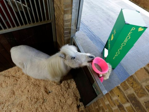 Pedro the Shetland pony has a periscope to help him see over the stable door
