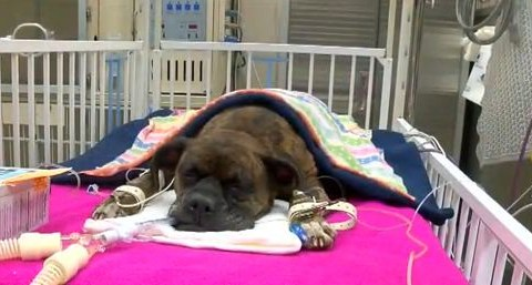 Hero dog fighting for its life after attempting to save owner from house fire