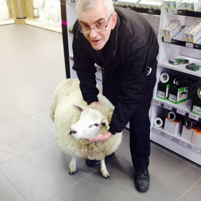 "MANDATORY CREDIT: Rex Features  Mandatory Credit: Photo by REX (4536249b)  After 15 minutes running amok, the sheep was finally bought under control  Sheep ram-raids an electrical wholesale store, Livingston, Scotland  - 16 Mar 2015  Staff at an electrical wholesaler are feeling a little SHEEPish this week after they were RAM-raided by a lone sheep.   Having hopped over a local farmer's wall, the woolly jumper walked over a mile to the YESSS Electrical store on Houston Industrial Estate, Livingston, West Lothian.   After head-butting the door and cracking two panes of glass, the sheep entered the store, running staff amok.     Branch manager Mark RAMsay (seriously!), 40, from Livingston, said staff were chasing the sheep down the aisles for over 15 minutes.  ""It was surprisingly quick and nimble,"" he said. ""We get all sorts of customers in store, but this is definitely the first sheep.   ""It had the staff chasing their tails for a quarter of an hour. It definitely pulled the wool over their eyes.""   Staff finally managed to collar the sheep and manager Mark contacted a local farmer who came to collect it.  The store is reportedly planning to put a sign on the door saying all sheep are BAAAArred from the store."
