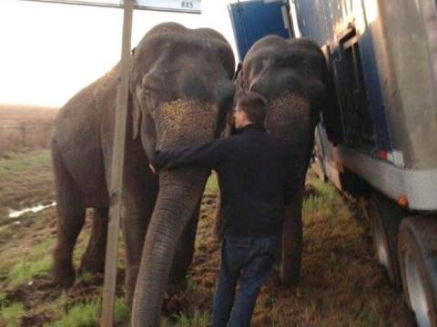 Elephants keep 18-wheeler lorry from overturning