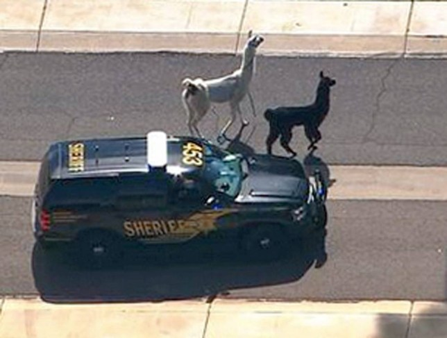Llama escape
