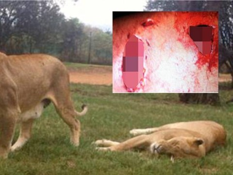 Australian tourist survives brutal lion attack in South Africa