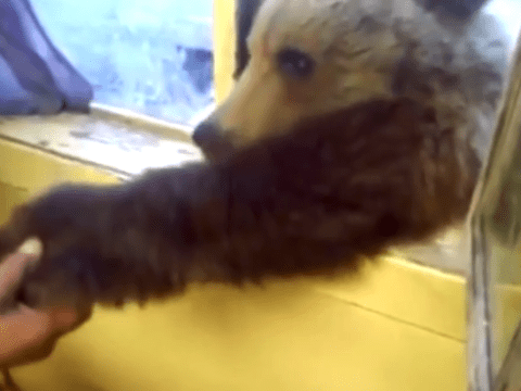 Bear learns how to 'shake a paw' for biscuits