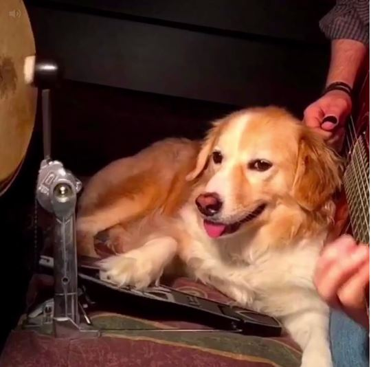 Barking unbelievable: It's a dog playing the bass drum to White Stripes
