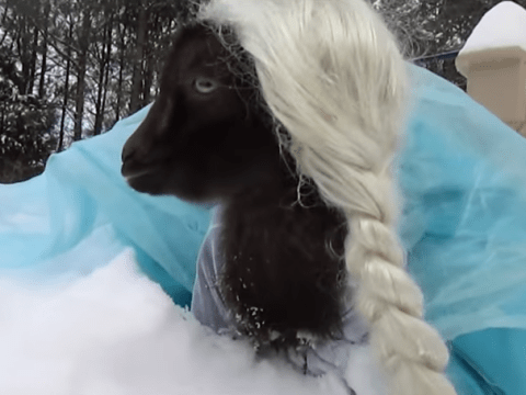 This goat is dressed like Elsa from Frozen and doesn't give a damn