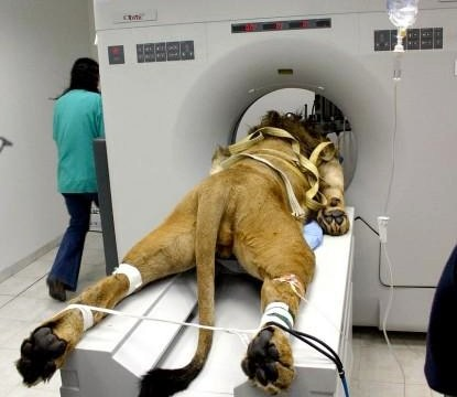 Here's a lion undergoing a CAT scan like a human