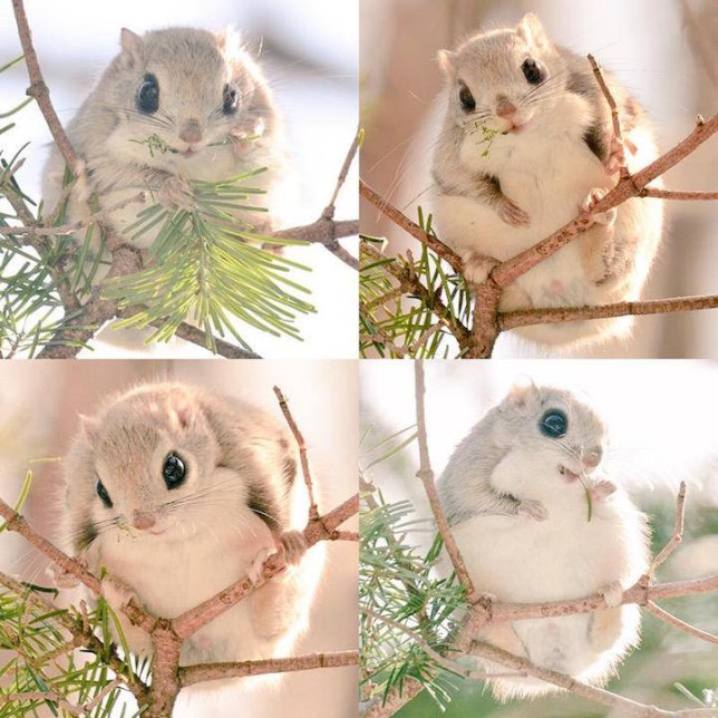 Hokkaido native animals . all Photos   © Pop Shiretoko 360  link to https://twitter.com/Popshiretoko360