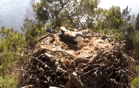 Watch osprey love triangle on live webcam 24-hours a day