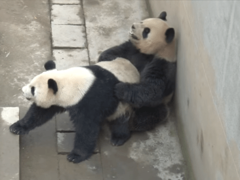 NSFW Giant panda's record-breaking sex tape gets leaked online