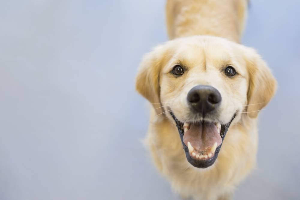 Portrait of smiling Golden Retriever