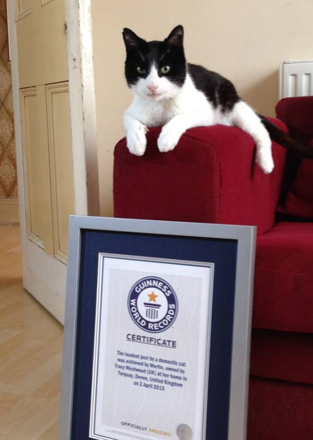 Cat gets certificate from the Guinness Book of Records for loudest purr.