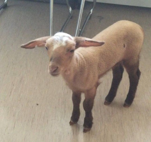 """A handout picture obtained from the website of the Munich police shows three-week-old lamb named Birke May 21, 2015. German police detained a 25-year-old prostitute for keeping Birke as a pet in a Munich brothel, police said in a statement. The woman was also briefly detained for drug possession - she and her lamb were discovered during a narcotics raid. Prostitution itself is legal in Germany. Keeping a lamb in a brothel evidently is not. Police said the woman showed them a letter from veterinary authorities laying out the conditions in which a lamb should be raised. Those conditions did not include inside a brothel, so she was forbidden to keep the lamb, police said. """"The lamb was turned over to an animal protection group,"""" the statement said. """"During its short stay with police, the lamb felt comfortable and starting drinking from a bottle."""" REUTERS/Muenchner Polizei/Handout via Reuters     ATTENTION EDITORS - THIS PICTURE WAS PROVIDED BY A THIRD PARTY. REUTERS IS UNABLE TO INDEPENDENTLY VERIFY THE AUTHENTICITY, CONTENT, LOCATION OR DATE OF THIS IMAGE. FOR EDITORIAL USE ONLY. NOT FOR SALE FOR MARKETING OR ADVERTISING CAMPAIGNS. THIS PICTURE IS DISTRIBUTED EXACTLY AS RECEIVED BY REUTERS, AS A SERVICE TO CLIENTS. NO SALES. NO ARCHIVES.      TPX IMAGES OF THE DAY"""