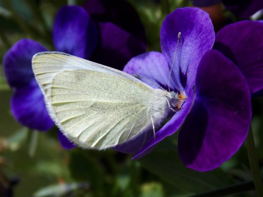 White Butterfly On Viola In Yard