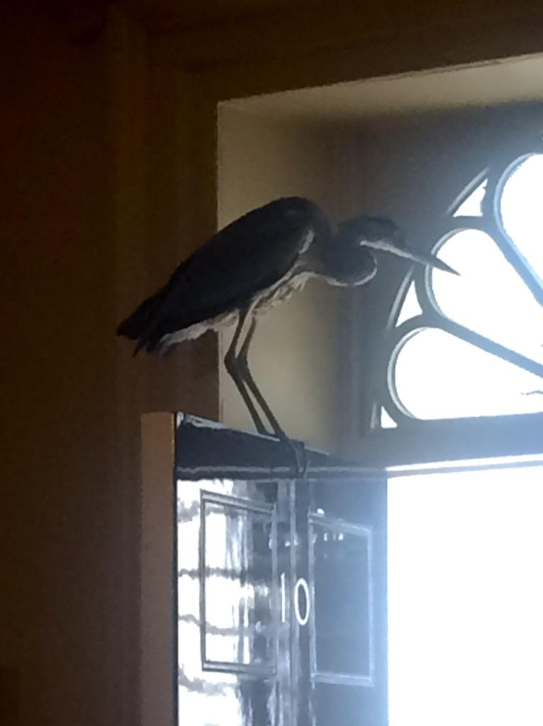 STOP EVERYTHING, there is a heron in 10 Downing Street
