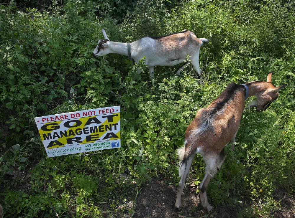 BOSTON - JULY 23: Dahlia, Christopher and two other creatures from the Goatscaping Company of Plympton feasted on unwanted vegetation in Hyde Park on Wednesday as part of a project to clear two overrun acres on Park and Recreation Department land. Community grants will cover the eight-week effort. (Photo by David L. Ryan/The Boston Globe via Getty Images)