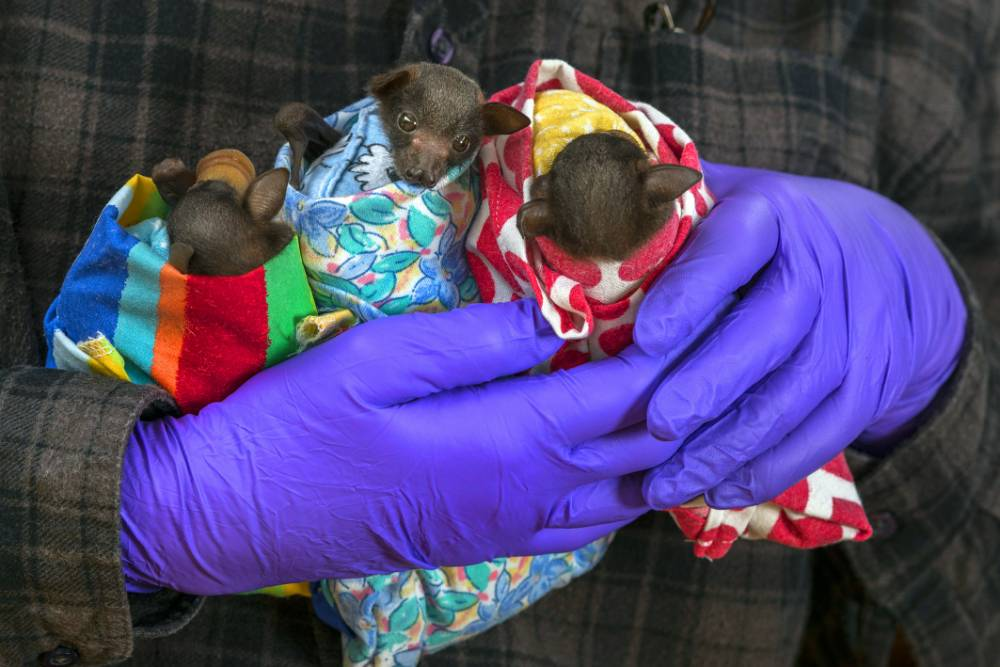 PIC FROM CATERS NEWS - (Pictured: Spectacled flying foxes recovering from their injuries swaddled up in multicoloured blankets at Tolga Bat Hospital) Theyre so cute you could almost eat them, but while these baby bats may be wrapped up like mini-burritos, the adorable creatures are far from edible. Swaddled in tiny multi-coloured blankets, the tiny orphaned bats are being cared for at Tolga Bat Hospital, in Atherton, Australia, until theyre nursed back to full health. Usually perceived as blood sucking monsters, the adorable pups couldnt be cuter as theyre bundled up like mini burritos by volunteers at the bat hospital after being abandoned by their mothers. SEE CATERS COPY.