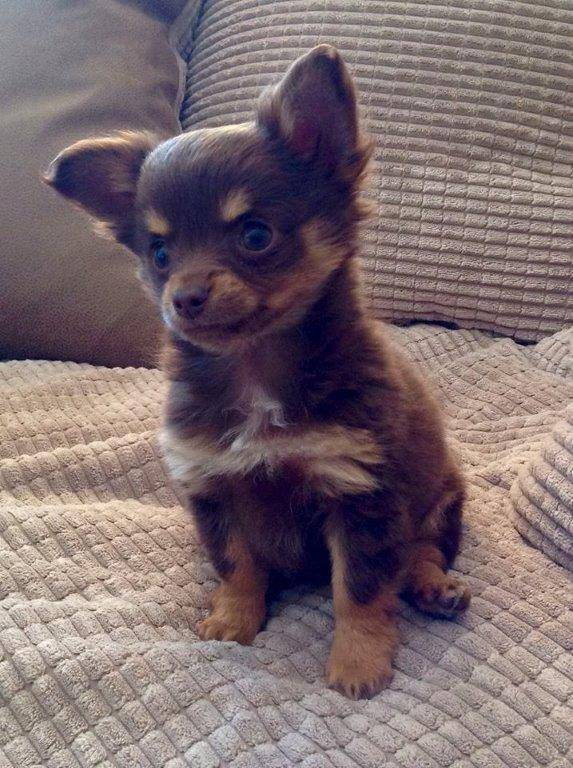 Stolen Essex Chihuahua Caramel returned after Facebook hunt  Source: Facebook/Find Caramel