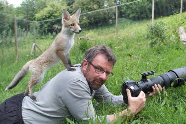 MANDATORY CREDIT: Helen Thorpe/REX Shutterstock. Editorial Use Only. No books, advertising or merchandising without photographer's permission.. Mandatory Credit: Photo by Helen Thorpe/REX Shutterstock (4850483a).. Richard Bowler with Hetty the fox cub on his back.. Hetty the fox cub stands on owner, near Corwen, Wales, Britain - 18 Jun 2015.. FULL COPY: http://www.rexfeatures.com/nanolink/qj67  Animal photographer Richard Bowler found himself the subject of a snap for once when his fox cub pal Hetty used him as a lookout.  Trying to take a few pictures at his smallholding near Corwen, Wales, Richard became a handy high-point from which to survey the garden - which his partner Helen managed to catch on camera.  Richard adopted the twelve-week-old fox from a friend who specialises in hand-rearing animals. Hetty has since formed a bond with their other pet, two-year-old Maddy the terrier, and enjoys exploring the outside area of the rural property...