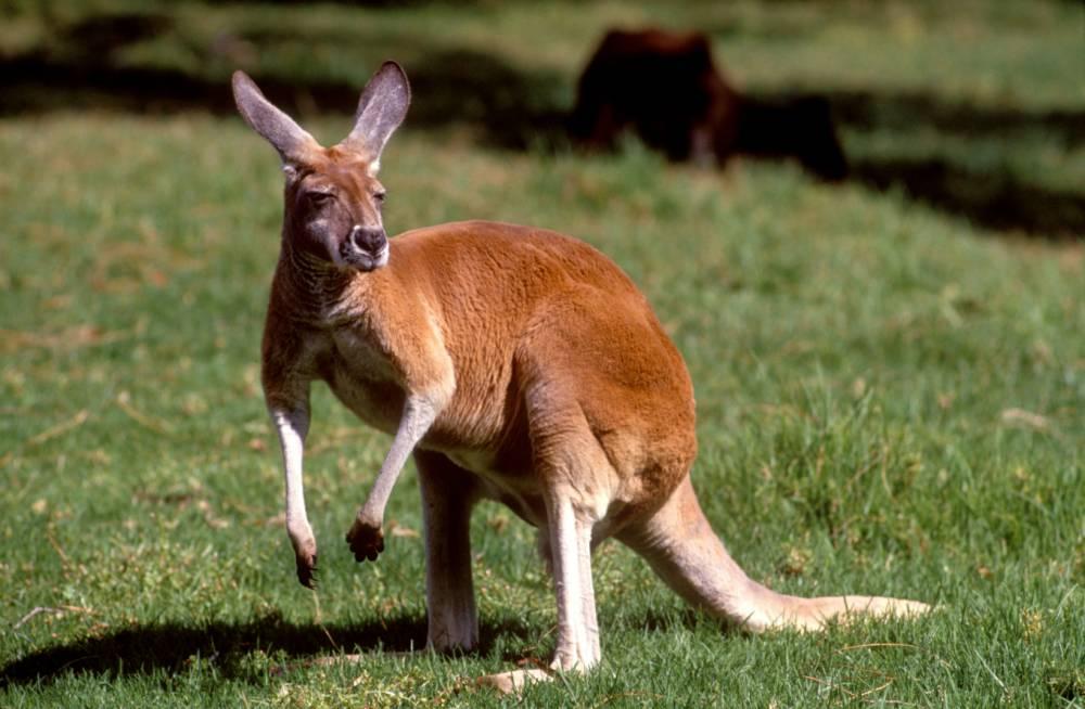 AF68T2 Australia, Kangaroo
