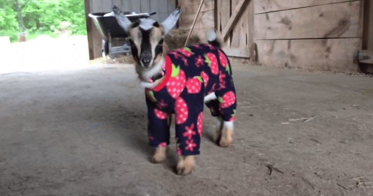 baby goats in onesies is the best thing ever