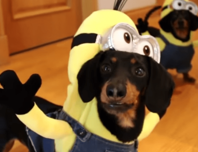 dachshunds dressed as minions video is ridiculously cute