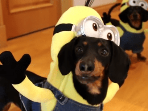This video of dachshunds dressed as Minions is ridiculous, but cute