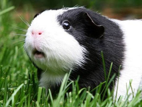 Man discovered barbecuing guinea pig in park (and the cops said it was perfectly legal)