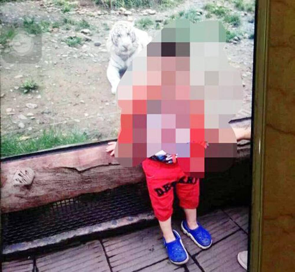 Pic shows: The boy with the white tiger at the local zoo. A young boy has lost part of his arm after it was savaged when he poked into a tiger's cage at his local zoo. The unnamed toddler, aged just two, was visiting the Yaían Bifeng Gorge animal park in Yaían, a city in south-west Chinaís Sichuan Province, when he stuck his arm into the White tiger (panthera tigris tigris) enclosure through a ventilation device to attract its attention. The white tiger, also known as a White Bengal tiger, reacted by sinking its teeth into the boyís right arm just below the elbow, causing large amounts of bleeding and ripping awy a large amount of muscle. The boy was rushed to the Peopleís Hospital of Yaían for initial treatment and later transferred to another hospital for an operation. However, the boy required a partial amputation as doctors were reportedly unable to save the boyís right arm below the elbow. The boyís family have so far refused to comment on the incident, which follows a similar case last year involving a nine-year-old boy who had his arm torn off while trying to feed a bear in a zoo in Chinaís central Henan Province. The parents of Cong Cong, the bear attack victim, recently demanded compensation of 1.6 million RMB (160,000 GBP) from the zoo, but they were rejected as the sum was considered too large. The Henan zoo did contribute 80,000 RMB (8,000 GBP) towards Cong Congís treatment, but the two parties will be meeting in court to settle future financial compensation for the incident. (ends)