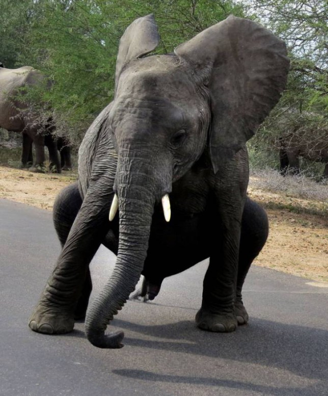 PIC FROM GRAEME MITCHLEY / CATERS NEWS - (PICTURED: The elephant does some moves in Kruger Park ) - Talk about busting a move! This baby elephant wowed the cameras with his breakdancing moves. The elephunky moment was snapped by South African photographer Graeme Mitchley, 43, in the Kruger National Park.  The baby, part of a herd walking on the main road to the Lower Sabie rest camp, wasnt pleased to see Graeme and tried to intimidate him with his floor-filler moves. SEE CATERS COPY.