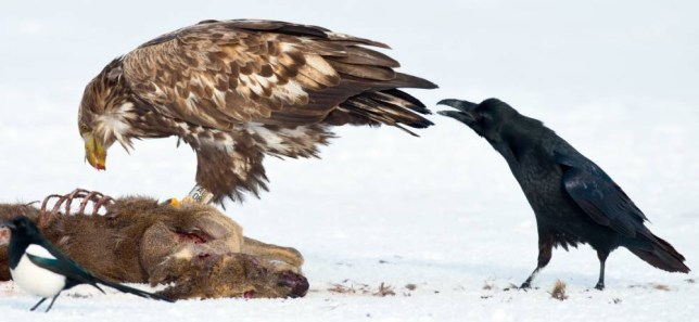 A sea eagle (lat. Haliaeetus albicilla) stands between hooded crows (lat. Corvus corone cornix) and magpies (lat. Pica pica) at an observation site for birds of prey in the Feldberg Lake District near Feldberg, Germany, 01 February 2014. Photo: PATRICKPLEUL
