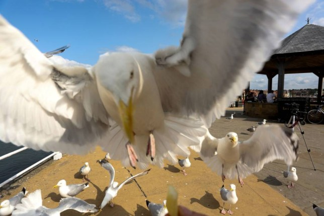 Drones should be used to kill baby seagulls, Copeland Borough