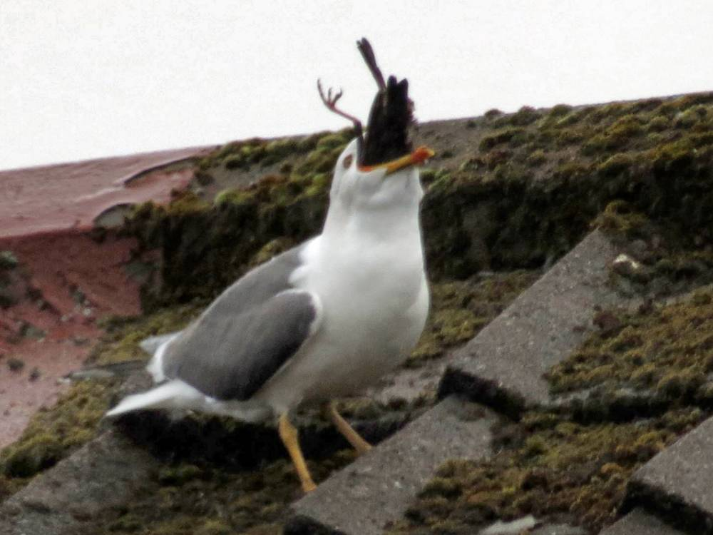 PIC FROM DOOGZ MCCOLL / CATERS NEWS - (PICTURED: The Seagull goes on to swallow the starling whole ) - A psychotic seagull has been caught on camera turning CANIBAL - killing a smaller bird before swallowing it whole. Dougie McColl, 51, from Barrhead, Glasgow, watched in horror unfold on his doorstep as he saw an enormous gull brutally attack a doting mother starling as it returned to a nest it had built for its chicks on his neighbours roof. The bird tore at the unsuspecting starling with its beak from where it had been lying in wait to pounce as the starling returned from a nearby field to line its nest. Dougie said: The poor starling chicks were forced to look on as the gull ate their mother in front of them, repeatedly smashing the poor birds body against the roof tiles to break its bones before gulping it down. SEE CATERS COPY.