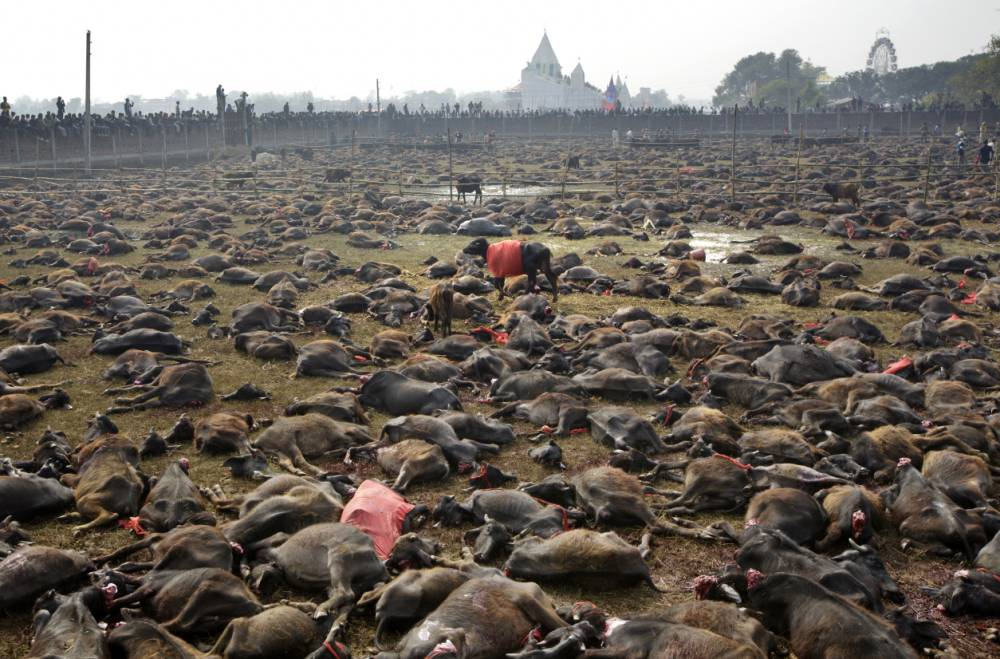 Lone buffalo roams around thousands of mutilated buffalos lay on the field as butchers conduct mass sacrifice killing of buffalos during Gadhimai Festival in Bara, Nepal on Thursday, November 28, 2014. The month-long festival to appease Goddess Gadhimai, which is held once every five years, has raised controversies because of the large numbers of sacrificial slaughter of animals.n(Kuni Takahashi/AP Images for The Humane Society of the United States)
