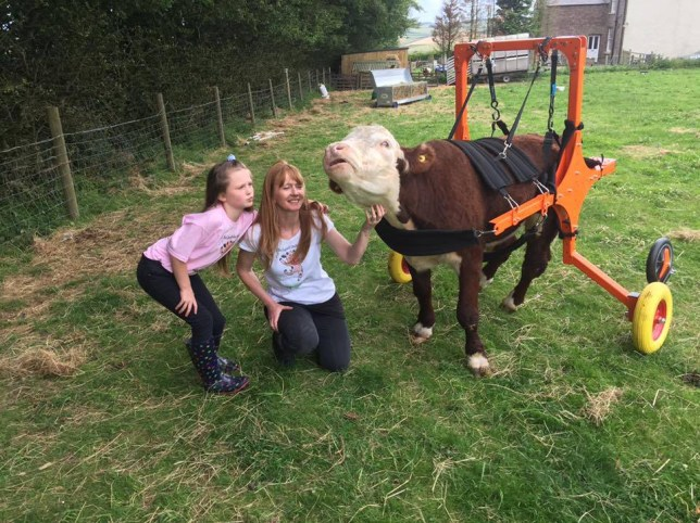 """A bullied bullock who was crippled in an attack by other cows is back on the moo-ve after his owners raised £11,000 for a special cart to help him walk. Duke the brown and white dwarf bullock faced being put to death but was rescued in March by a sanctuary that helps injured and unwanted cows. And after four months of fundraising he is now romping around his meadow hitched into the four-wheeled cart that acts as a substitute for his back legs. Money was raised by making Duke a star and selling paintings and photos of him on his own Facebook page as well as """"I helped Duke Walk"""" T-shirts. Sharon Lawler, who runs the Calf Sanctuary at Malton, North Yorks, says he is now so excited to be out on the grass that he starts to run out of control. She said: """"It is still early days he is getting used to his wheels, but it's absolutely fantastic to see him dashing about the field after so long. """"When we first put him in it, he just ran at me. I was feeding him grass and he just got quicker and quicker. I couldn't pick the grass fast enough and was in danger of being run down. """"Duke has a broken pelvis and possible neurological problems. He can stand a bit and he would try to walk like a crab. """"We already had a harness for him to help him stand and make sure he doesn't get internal injuries lying down a lot, but the cart will make such a difference to him and to us."""" The appeal to help Duke and the other animals in the sanctuary is ongoing, with a desperate need for funds and volunteers. Sharon is hoping eventually to be able to open the sanctuary to the public. """"Duke's facebook page is becoming really popular,"""" she said. """"He is such a sweetheart, he really is the softest animal. The guy who built the wheelcart was really not keen to do it because he didn't want to work with a bullock, but after meeting Duke he realised he's just a big softie."""" Duke arrived at the sanctuary in March. He had been destined to be put to death after continuing problems following an attack by other c"""