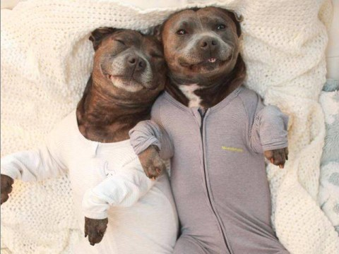 Super-cute Staffies The Blueboys are winning hearts all over the world