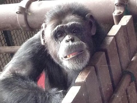 This chimp could teach you a thing or two about playing the ukulele