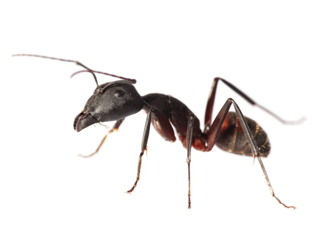 Isolated Red Ant (XXL)