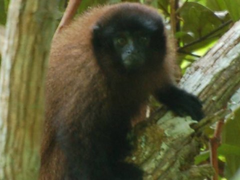 Scientists have found a new species of monkey ( and yes, it's just as cute as you'd imagine)