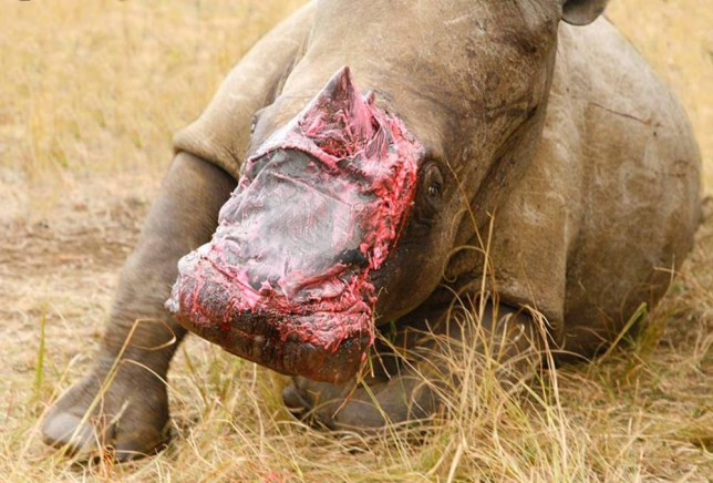 In this hand out photo supplied by Saving The Survivors, a rhino recovers in an enclosure after being treated by Dr. Johan Marais, an equine and wildlife surgeon, at the Pongola Game Reserve South Africa Friday Aug. 14, 2015. Veterinarians have treated the injured rhino, whose face was mutilated by poachers, by fitting it with a bandage made of elephant hide obtained from a taxidermist (Johan Marais/ Saving-The-Survivors via AP)