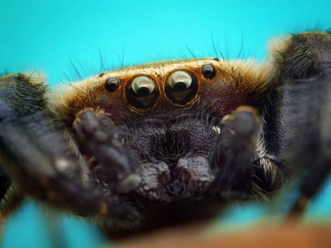 Horny mouse-sized spiders will invade your home this month