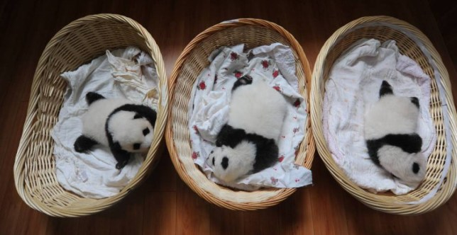 YA'AN, CHINA - AUGUST 21: (CHINA OUT) Newborn panda cubs are seen at Ya'an Base on August 21, 2015 in Ya'an, Sichuan Province of China. Ten newborn panda cubs born in 2015 are shown to the public in Sichuan's Ya'an Base with the smallest ones less than a week old. The China Conservation and Research Center for the Giant Panda (CCRCGP) has nurtured 21 panda cubs with just one not surviving. (Photo by ChinaFotoPress/ChinaFotoPress via Getty Images)