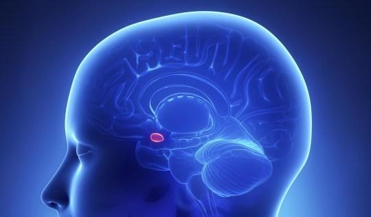 Amygdala - female brain anatomy lateral view janulla/janulla