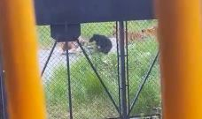 Bear cub wanders into tiger enclosure and it doesn't end well