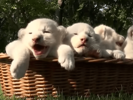 Four baby white lion cubs to fill your heart with joy